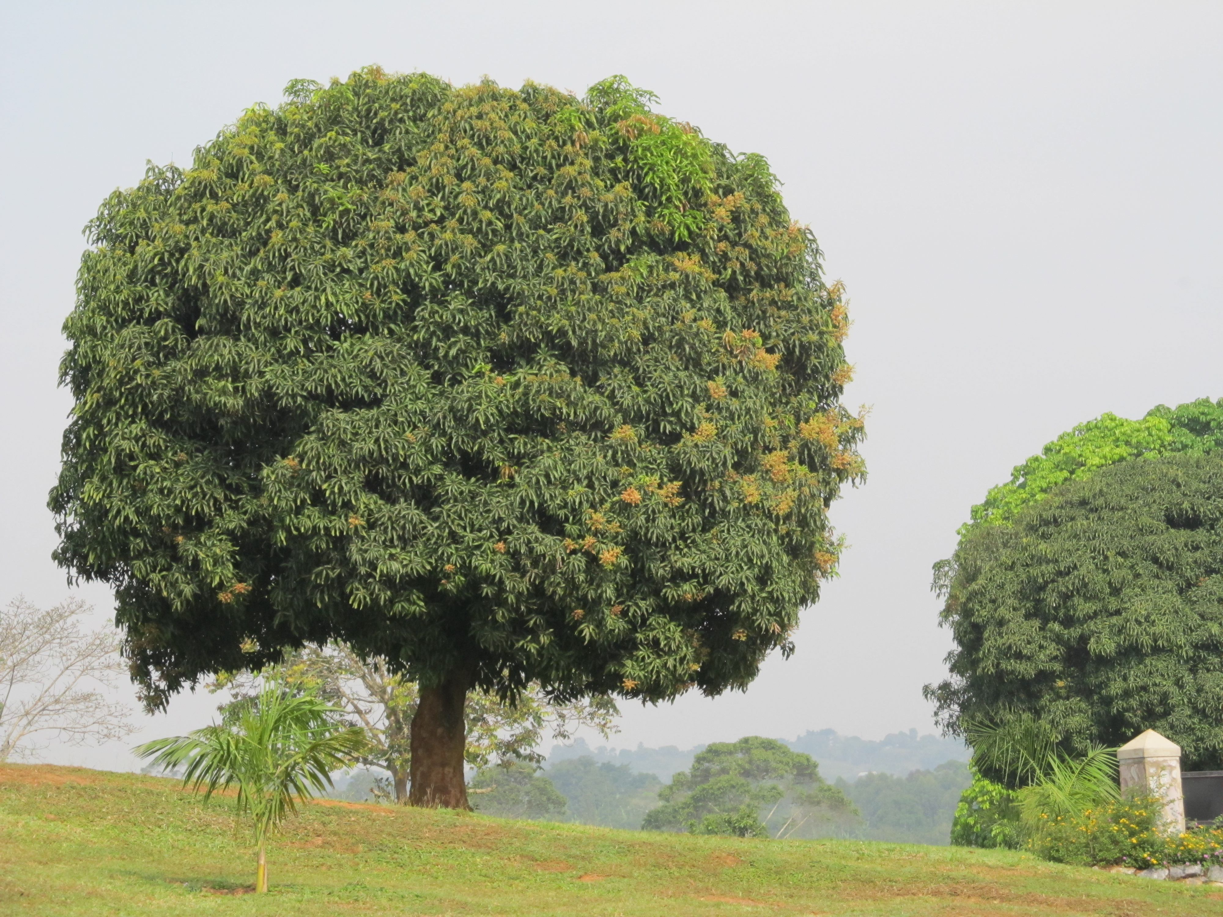 Wonderful Mango Tree Not Producing Fruit Part - 6: This Is A Beautiful Mango Tree. At This Time Of The Year There Is No Fruit.